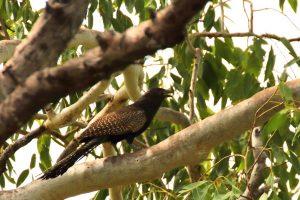 Coucal pheasant, a strange cuckoo