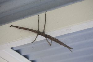 Titan Stick insect